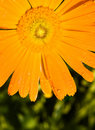 Calendula officinalis covered with dew Stock Images
