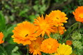 Calendula officinalis Royalty Free Stock Photo