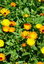 Calendula officinalis (pot marigold) Royalty Free Stock Image