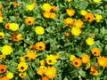 Calendula officinalis pot marigold Royalty Free Stock Photos