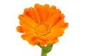 Calendula Officinalis (Pot Marigold) Flower on White Background Royalty Free Stock Photo