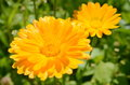 Calendula officinalis in a sunny day two Royalty Free Stock Photos
