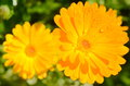 Calendula officinalis in a sunny day two Stock Images