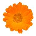 Calendula (Pot Marigold) Flower Isolated on White Background Royalty Free Stock Photo