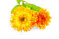 Calendula terry Royalty Free Stock Photo