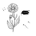 Calendula medical botanical isolated illustration. Plant, flowers, petals, leaves, seed hand drawn set. Vintage contour