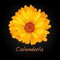Calendula vector illustration