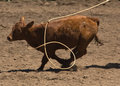 Calf being roped Royalty Free Stock Photography