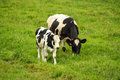 Calf and cow on green field Royalty Free Stock Photo