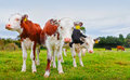 Calf cows Royalty Free Stock Photo