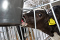 Calf drinking in stable on farm feeding Stock Photo