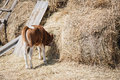 Calf eating hay buried his head in the haystack Royalty Free Stock Photo