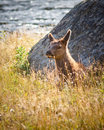 Calf Elk Royalty Free Stock Images