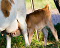 Calf feeding a young suckling her mother Royalty Free Stock Photography
