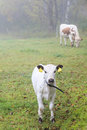 Calf on a foggy meadow Stock Photo