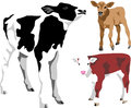Calf friesian jersey and hereford color illustrations Royalty Free Stock Photography