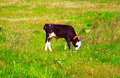 Calf on a green dandelion field