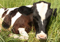 Calf in a meadow Royalty Free Stock Photography