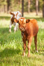 Calf on a meadow Royalty Free Stock Photo
