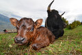 Calf with Mother Royalty Free Stock Photo