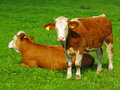 Calf with mother on meadow Royalty Free Stock Photo