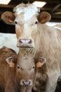 Calf with mum Royalty Free Stock Photo