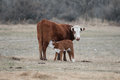 Calf Nursing Hereford Royalty Free Stock Photo