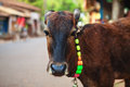 Calf in the street with a bell around his neck Stock Photography