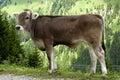 Calf of Tiroler Grauvieh cattle Royalty Free Stock Photo