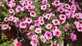 Calibrachoa cabaret pink vein cabaret pink vein calibrachoa annual bedding plant with green leaves and trumpet shaped flowers Stock Photography