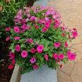 Calibrachoa de color rosa oscuro Imágenes de archivo libres de regalías