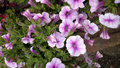 Calibrachoa superbells tickled pink herbaceous bedding annual with light flowers with darker rose throat and veins and Stock Photos