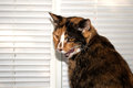 Calico Cat Royalty Free Stock Image