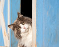 Calico cat peeking out of a blue barn Stock Images