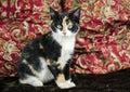 Calico Kitten Adoption Photo, ...