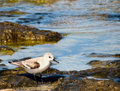 Calidris albumy sanderling Obraz Stock