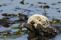 Califonia Sea Otter Stock Photography