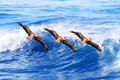 California brown pelicans in flight ~ Pelecanus Stock Image