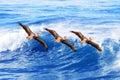 California brown pelicans in flight ~ Pelecanus Royalty Free Stock Photo