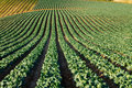 California Cabbage Field Royalty Free Stock Photo