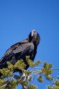 California condor an endangered sits atop a pine Royalty Free Stock Photos
