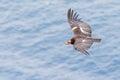 California Condor Royalty Free Stock Photo