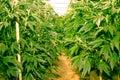 California Dreaming Medical Marijuana Royalty Free Stock Photo