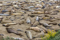 California elephant seals in piedras blancas point big sur south inn pacific highway Royalty Free Stock Image
