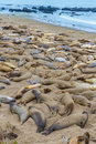 California elephant seals in piedras blancas point big sur south inn pacific highway Stock Image