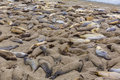California elephant seals in piedras blancas point big sur south inn pacific highway Royalty Free Stock Photography