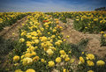 California flower fields san diego county colorful yellow ranunculus flowers in the of southern ready for cutting and selling to Royalty Free Stock Photos