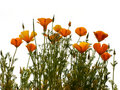 California golden poppy Royalty Free Stock Photo