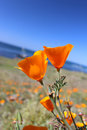 California golden poppy, Big Sur, California, USA Royalty Free Stock Photo