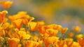 California Golden Poppy Royalty Free Stock Photo